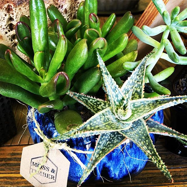 Classics like #aloe #sedum and #jadeplant are perfect container buddies