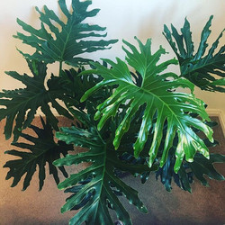 Big beautiful leaves of #philodendronhope 🌿I couldn't believe that no one had snapped up this amazi