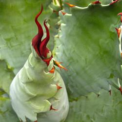Large Cacti & Succulents