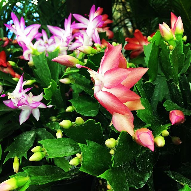 #christmascactus is a true heirloom plant. It can easily outlive its caregiver