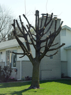 No Arborist would do this