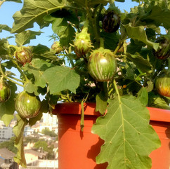 14 brinjals on a plant.jpg