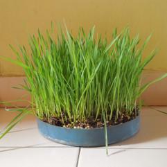(2 microgreen)2 wheat microgreen.JPG