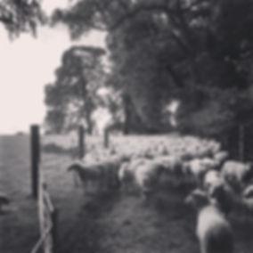 Lleyn Ewes Farm Trees Sheep Dog