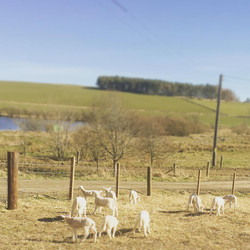 Lambs in the sunshine