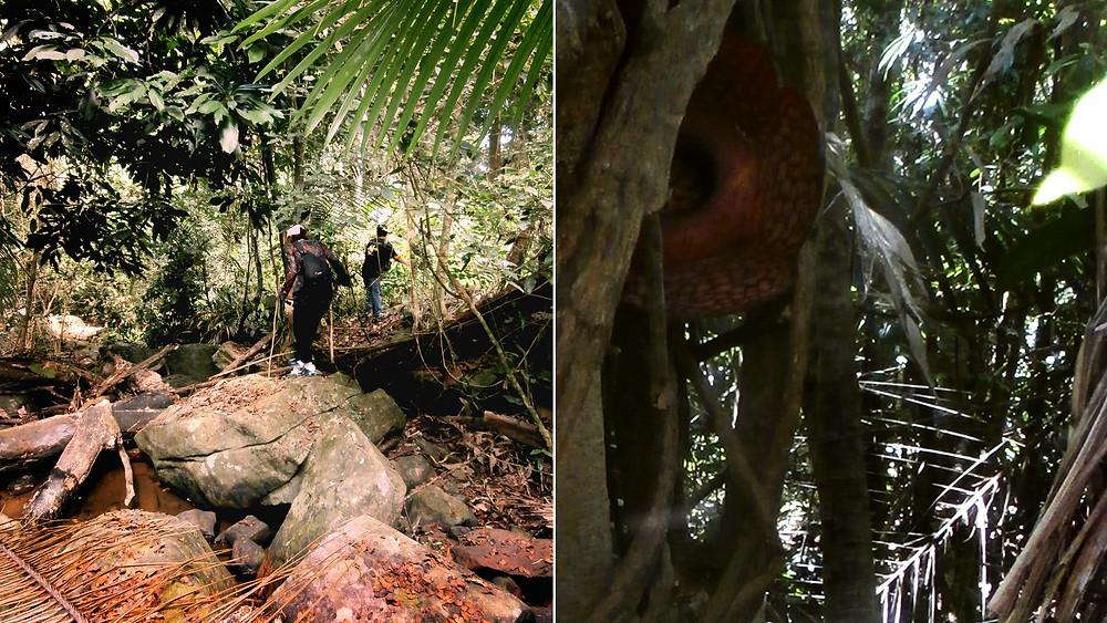 Rafflesia image