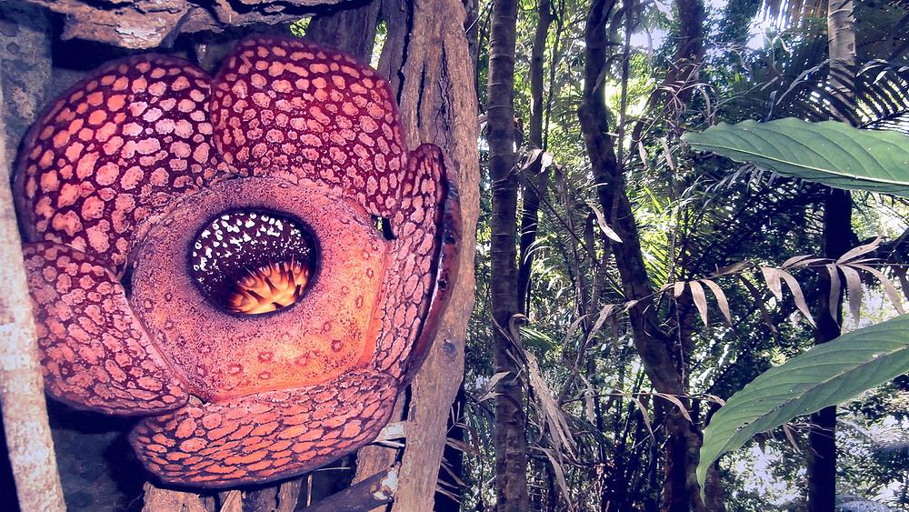 Rafflesia Tioman Island