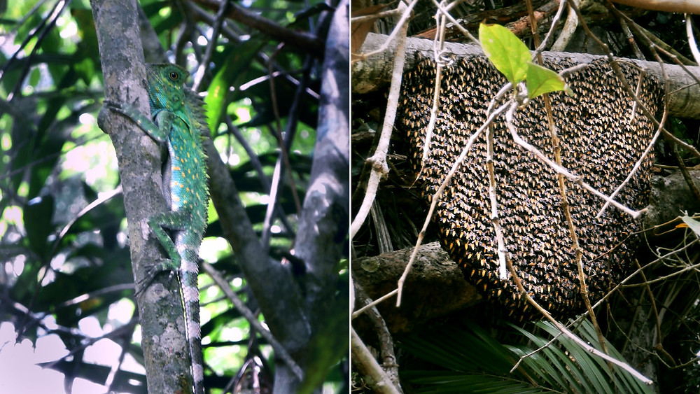 Tioman cameleon and asia honey bees