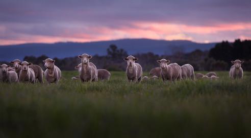 gala_lambs_001rt7.jpg