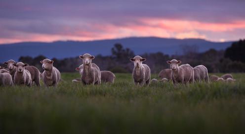 gala_lambs_001rt6.jpg