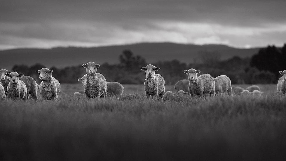 East Coast Lambs 1 - Mono Series