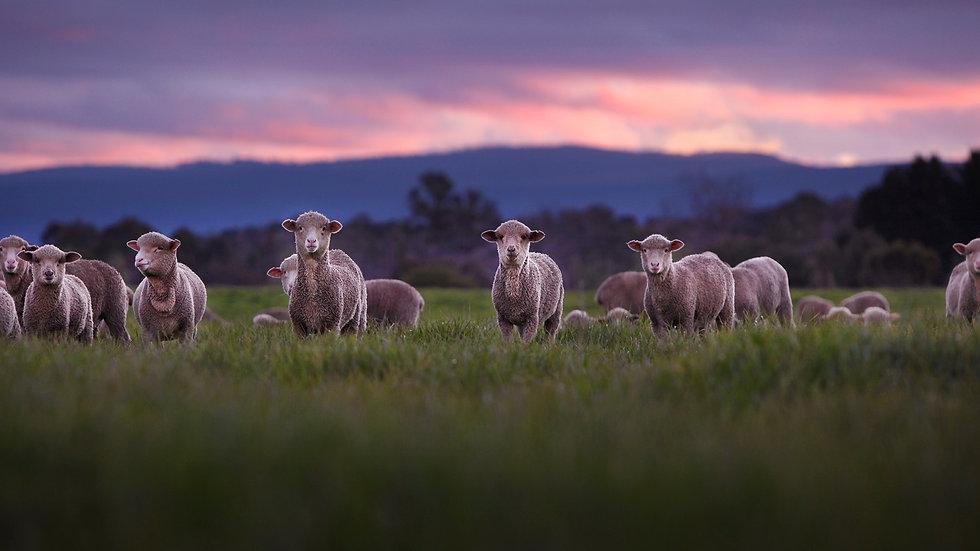 East Coast Lambs 1