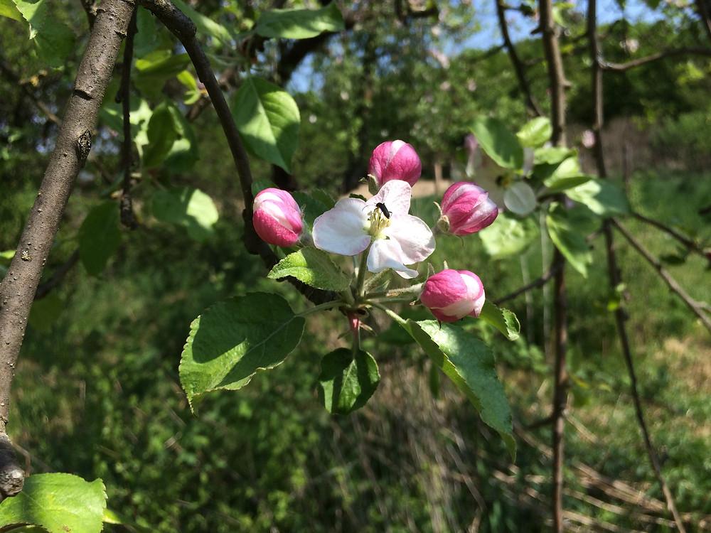 Virágoznak az almafáink!