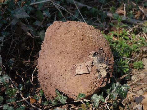 Óriás pöfeteg (Langermannia gigantea)
