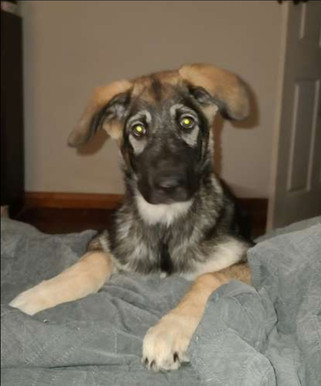 Siberian Husky x Sarplaninac puppies for sale