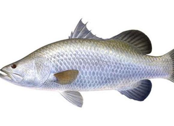 Ikan Kakap Putih (Kg)