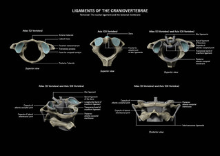 Ligaments of the craniovertebrae