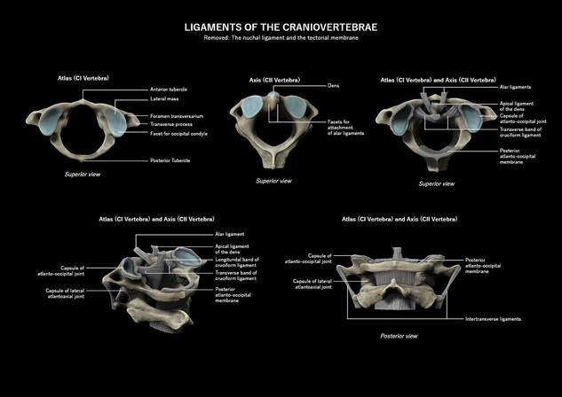 Ligaments of the craniovertebrae