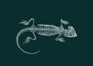 Bearded dragon skeleton