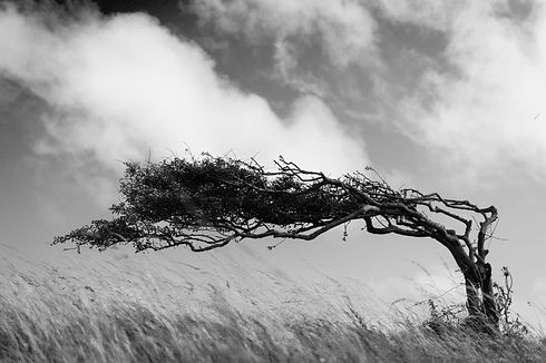 A resilient lone tree bends to the eleme