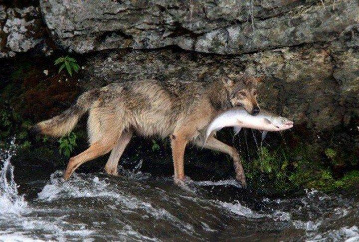 lobos pescando
