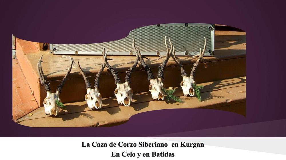 Corzo siberiano en Kurgan 1.jpg