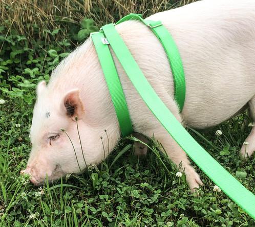 Potbelly & Mini Pig Harness | New Milford | PiGGlz.com