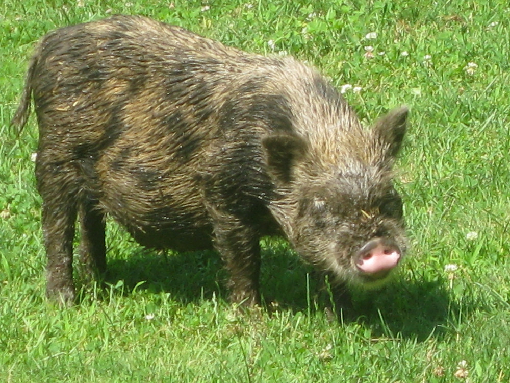 Hobbes, our Juliana boar covered in mud