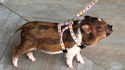 Potbelly pig harness on Darla