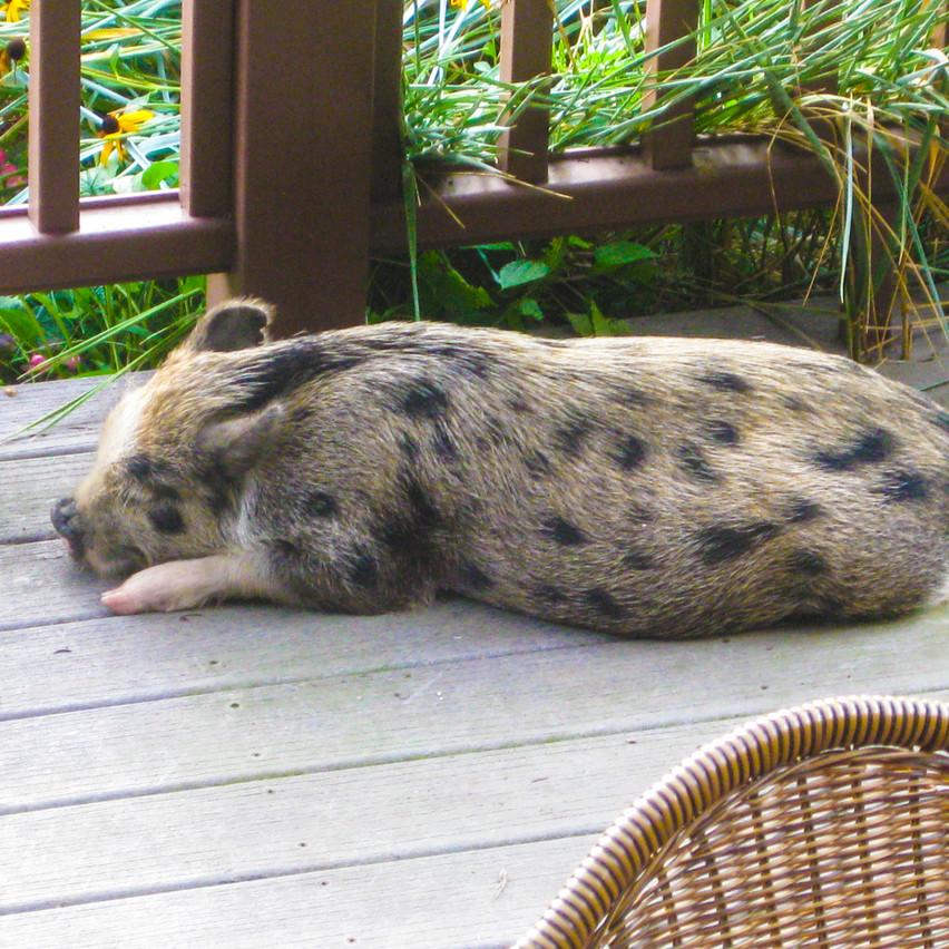 Our Juliana mini pig