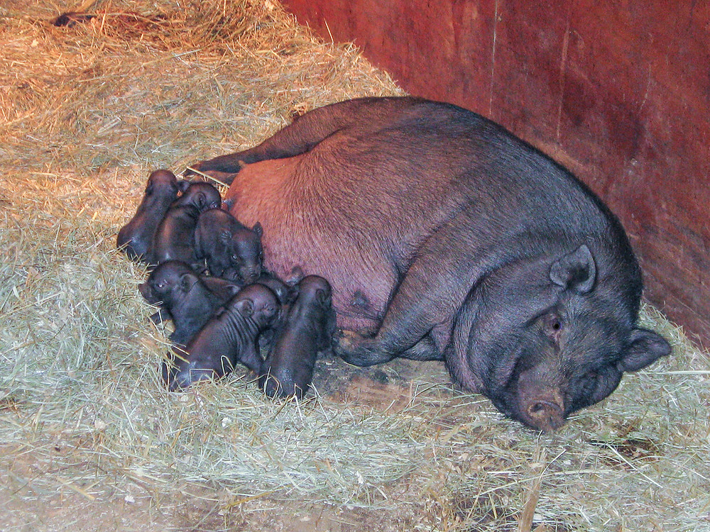 Scarlett with her litter of potbelly pigs