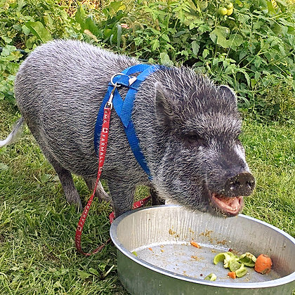 Grey mini pig with royal Blue baSIX (c) mini pig harness