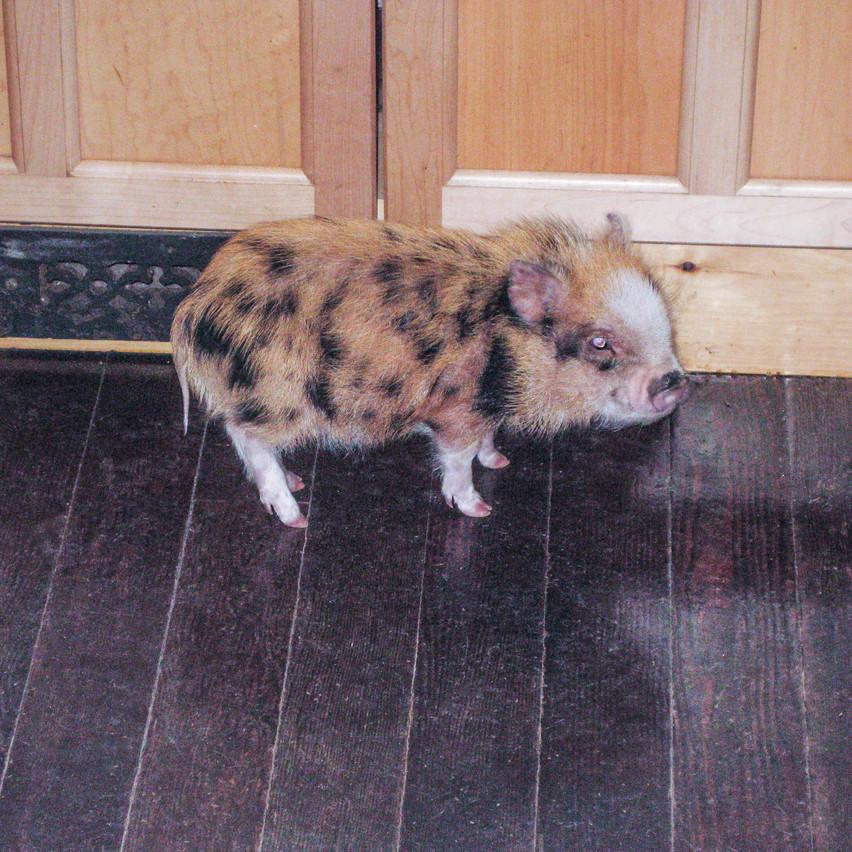 Hobbes the Juliana mini pig