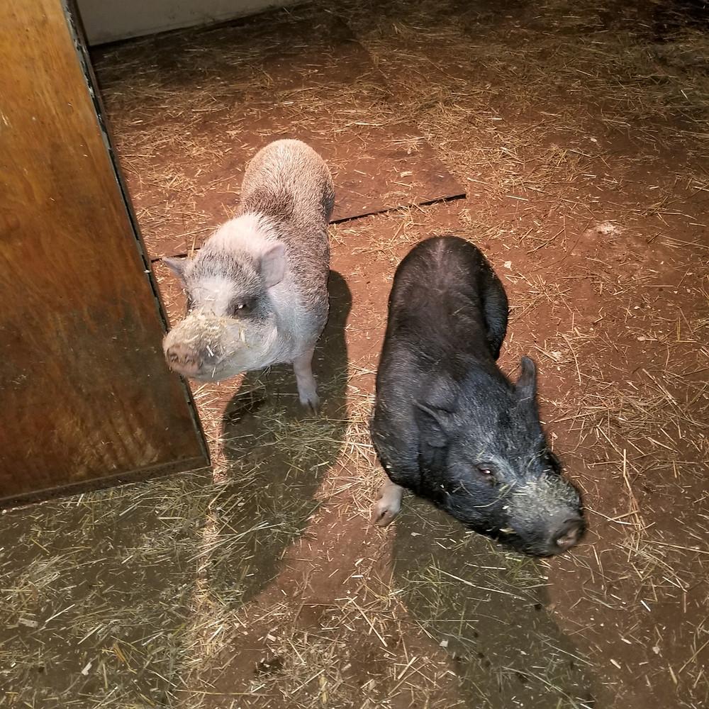 Mason & Willis mini-pigs