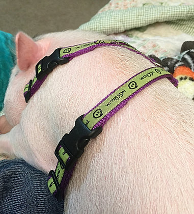 Off the Rack (c) mini pig harness on white mini pig