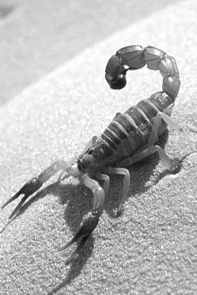 Scorpion small.jpg