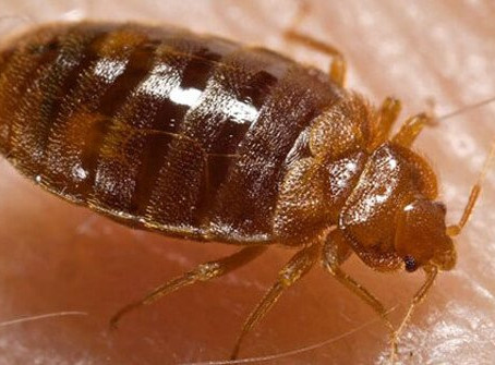 How to Use Diatomaceous Earth to Safely Kill Bed Bugs in Your Home