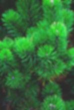 Garden of Eden 100% Gum Spirits of Turpe