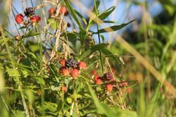 black raspberries memory