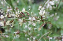 arugula flowers copy