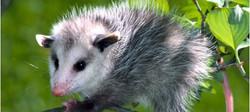 Get Rid of Opossums