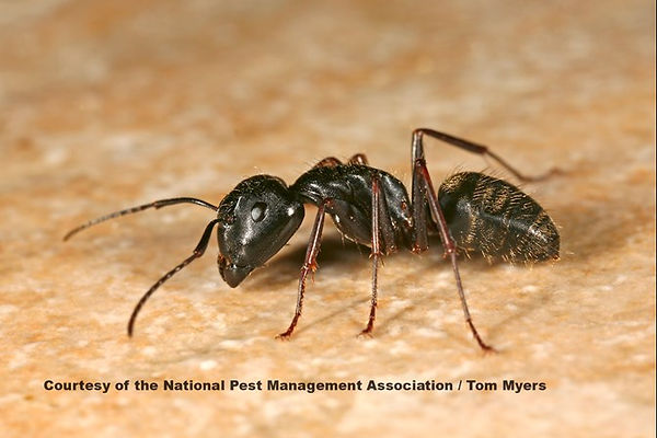 carpenter-ant-img_3011-2.jpg