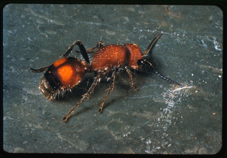 Mutillid Wasp
