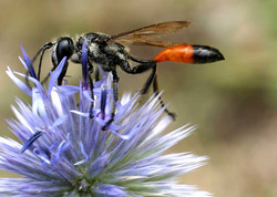 Common Thread Waisted Wasp