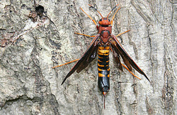 Horntail Wasp