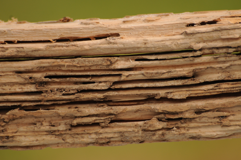 Subterranean Termites: Wood Damage