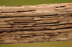 Subterranean Termites: Wood Damage