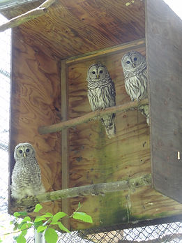 Barred Owl Family