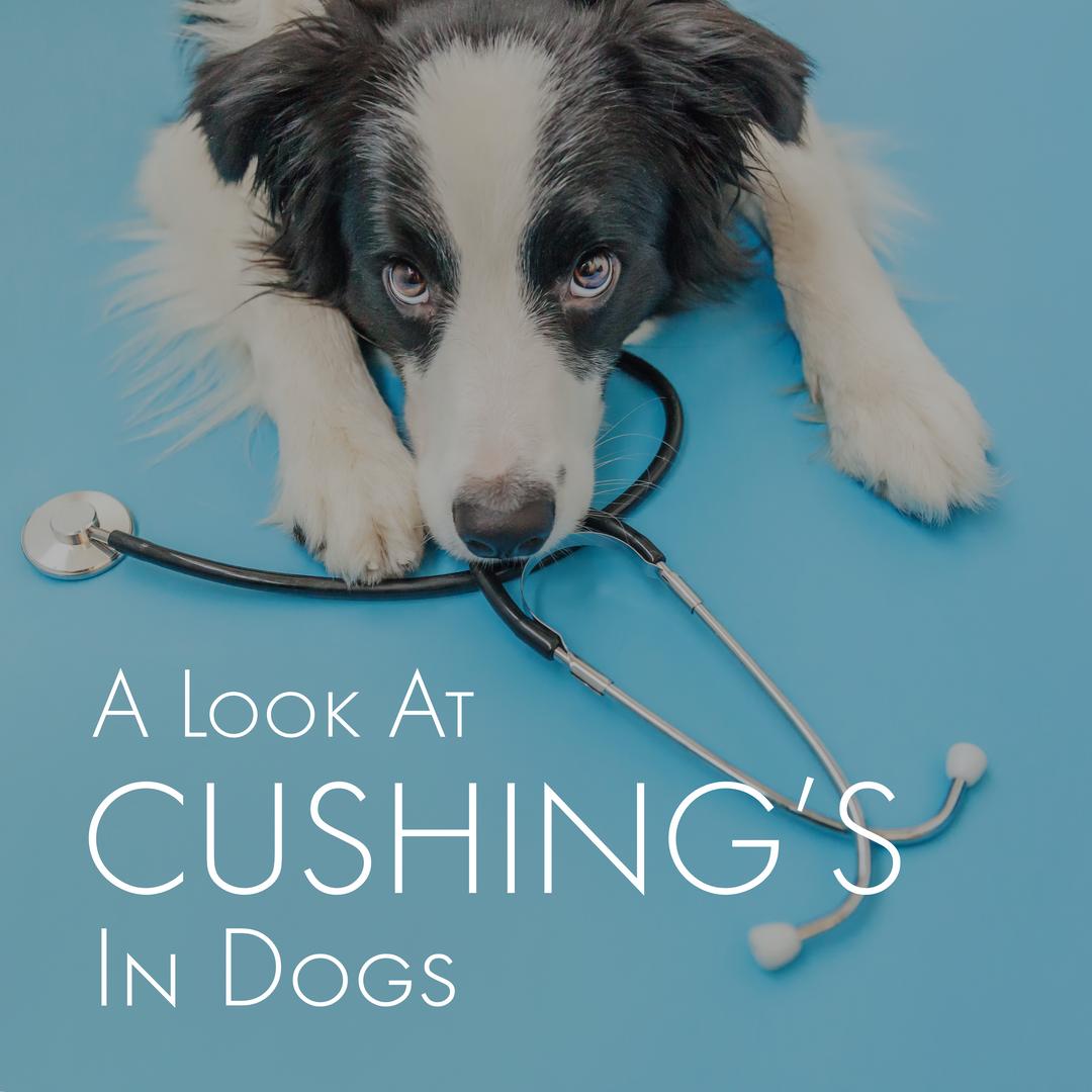 Cushing's in Dogs