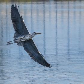 2019RFNHM_PDI_003 - Flight of the grey heron by Sean Evans.